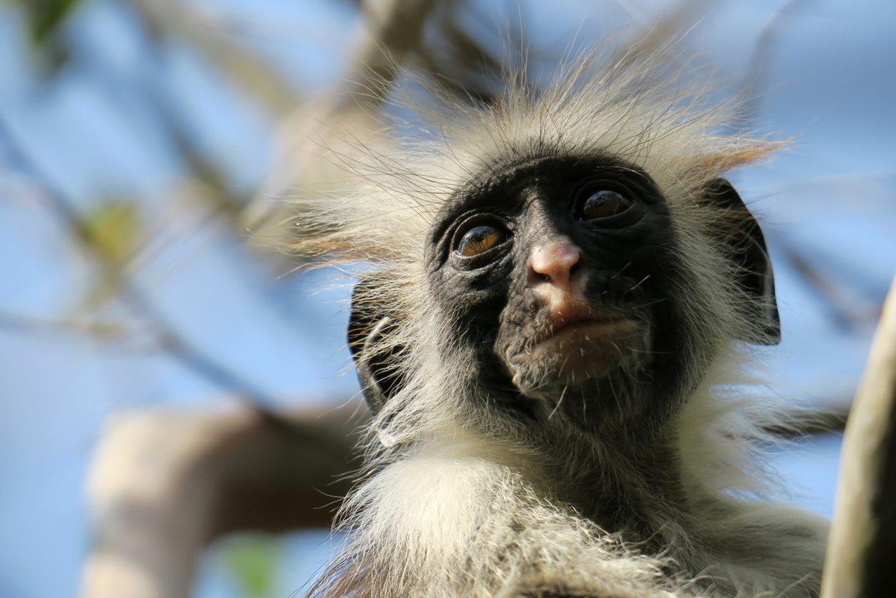 tanzania itinerario fai da te. Il colobo a Jozani Forest