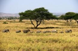 tanzania itinerario fai da te. Elefanti nel Serengeti