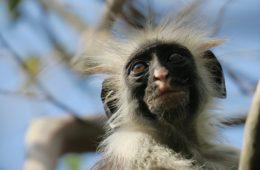 escursioni a zanzibar: una scimmia a Jozani forest
