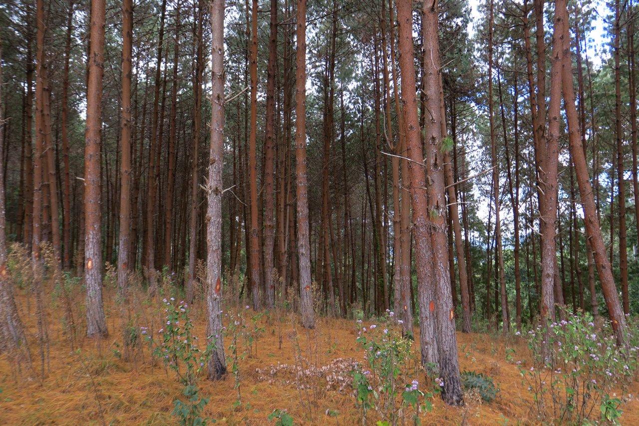 escursione nelle montagne usambara: la foresta di conifere