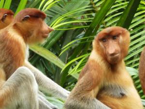 tanjung puting scimmie nasiche