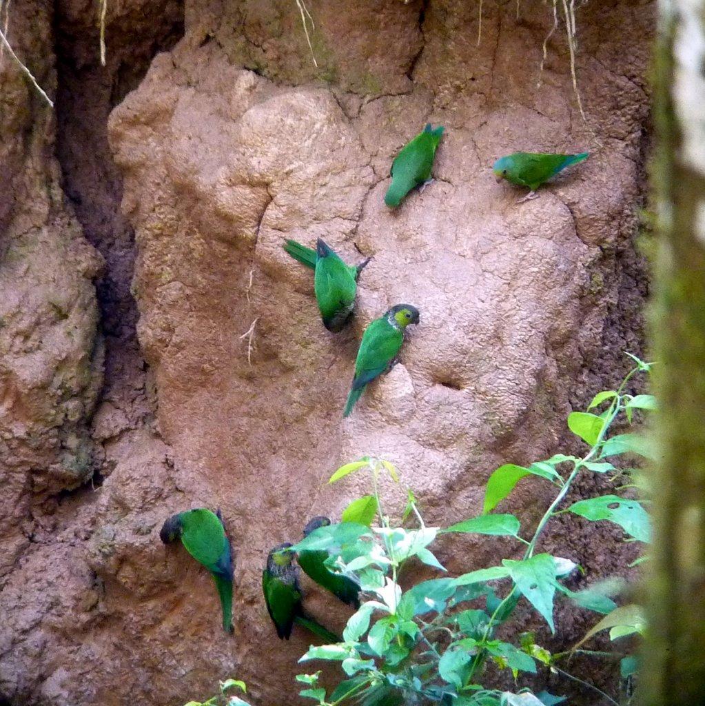 Cocorite si nutrono di argilla