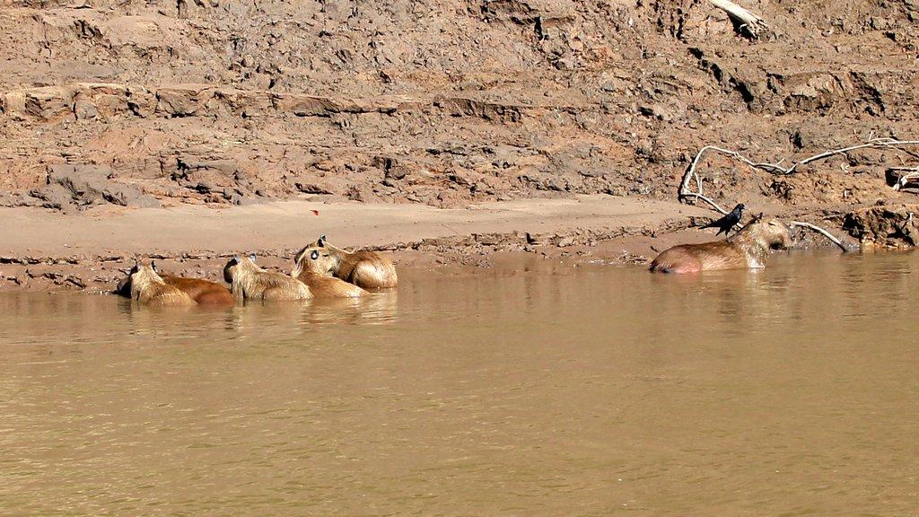Un gruppo di capibara in riva al fiume