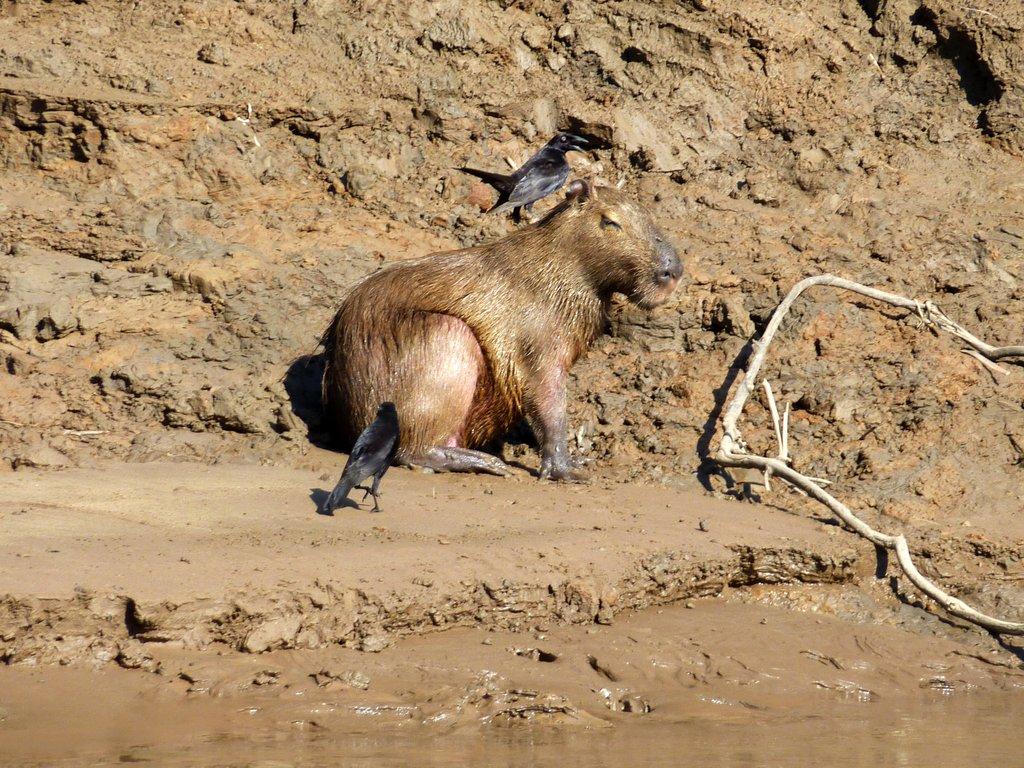 lo scricciolo pulisce il pelo del capibara