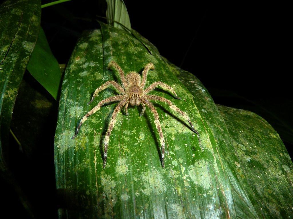 wandering spider il ragno più velenoso al mondo