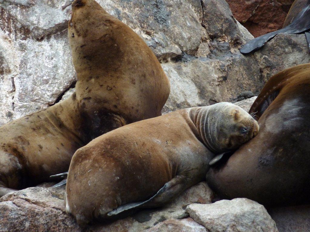 Un leone marino sonnecchia sugli scogli