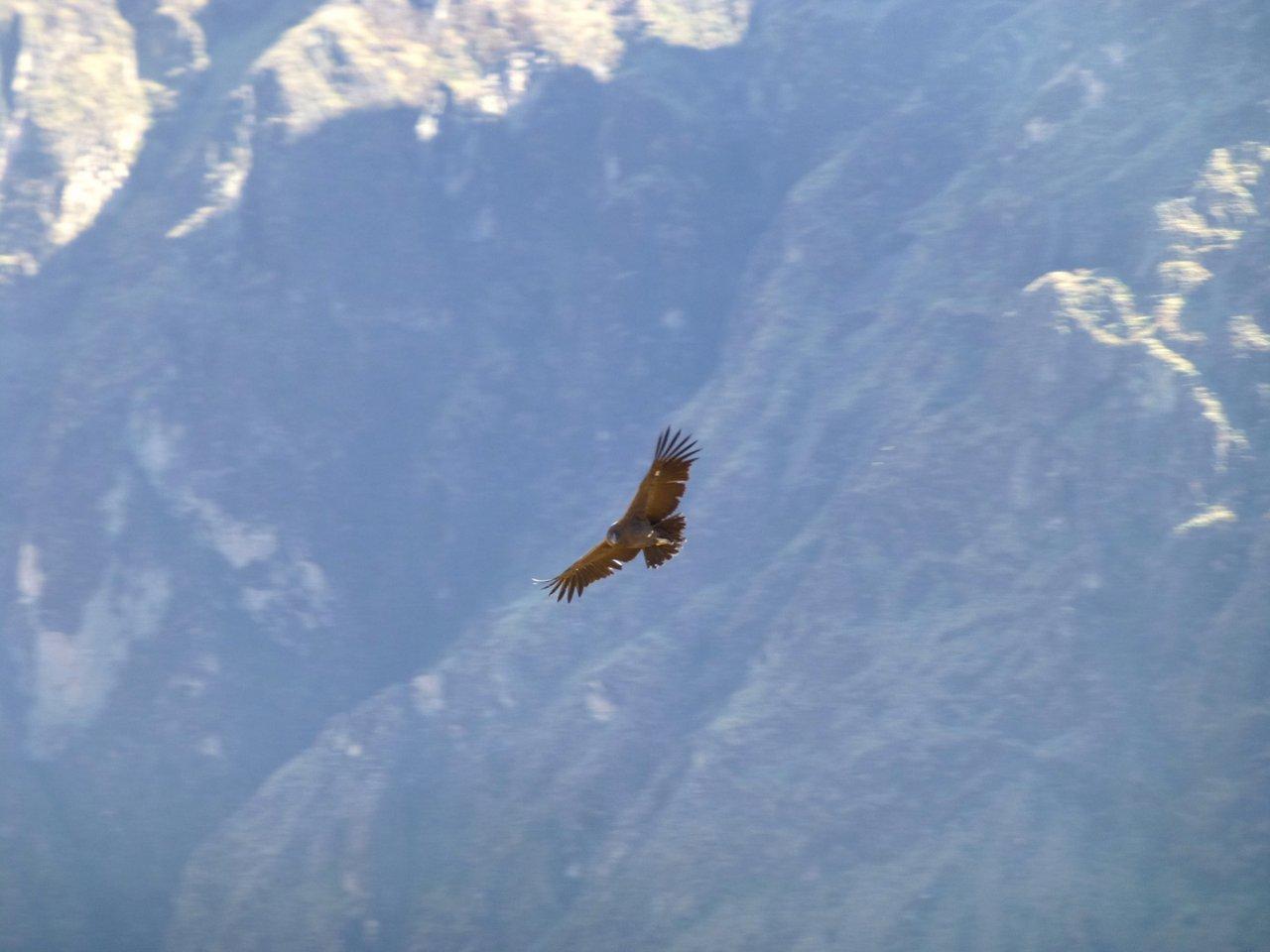 canyon del colca trekking: condor