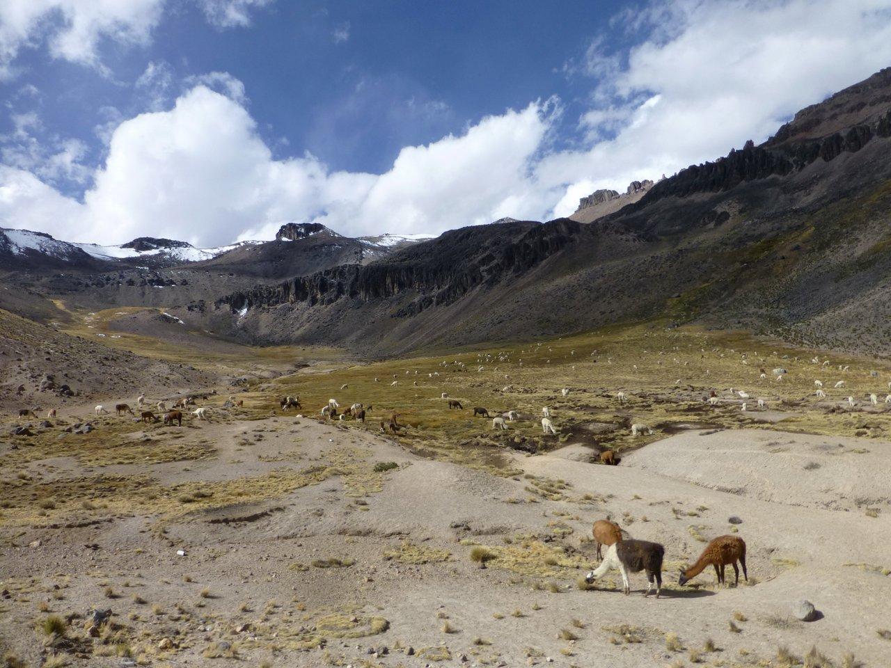 canyon del colca trekking: alpaca