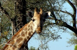 itinerario in sud africa: Una giraffa nel Kruger
