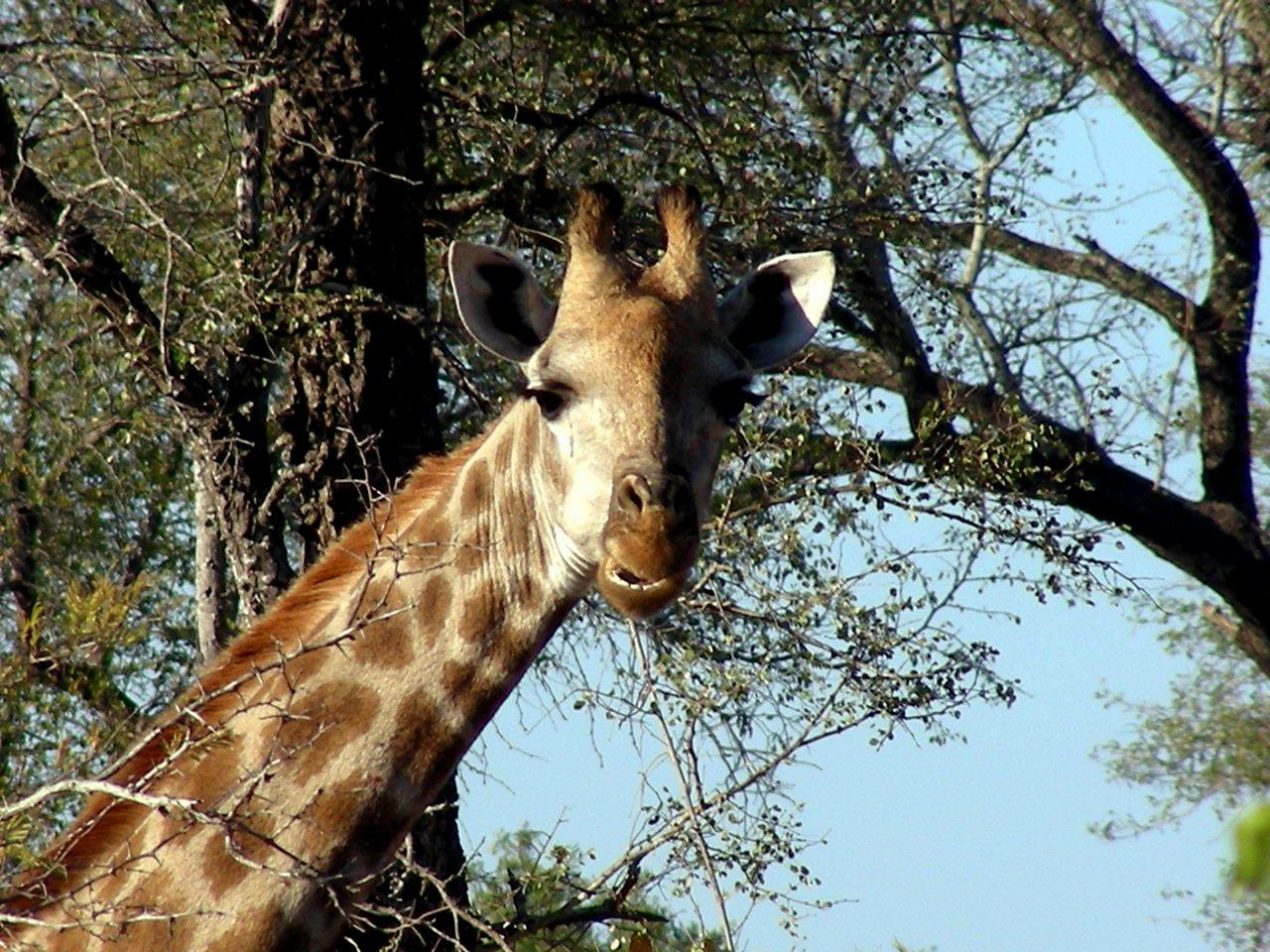 sudafrica itinerario: Una giraffa nel Kruger