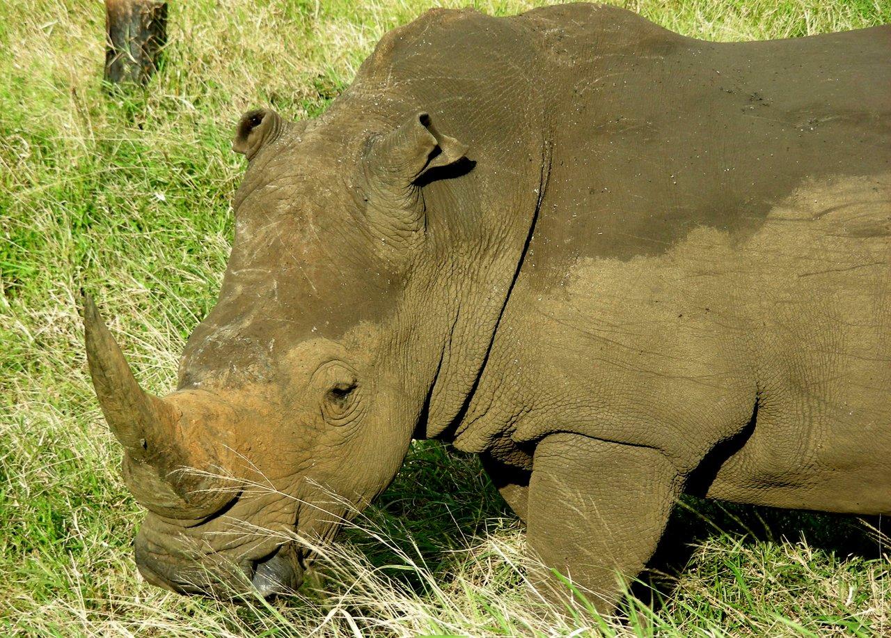 sudafrica itinerario: rinoceronte a st. lucia