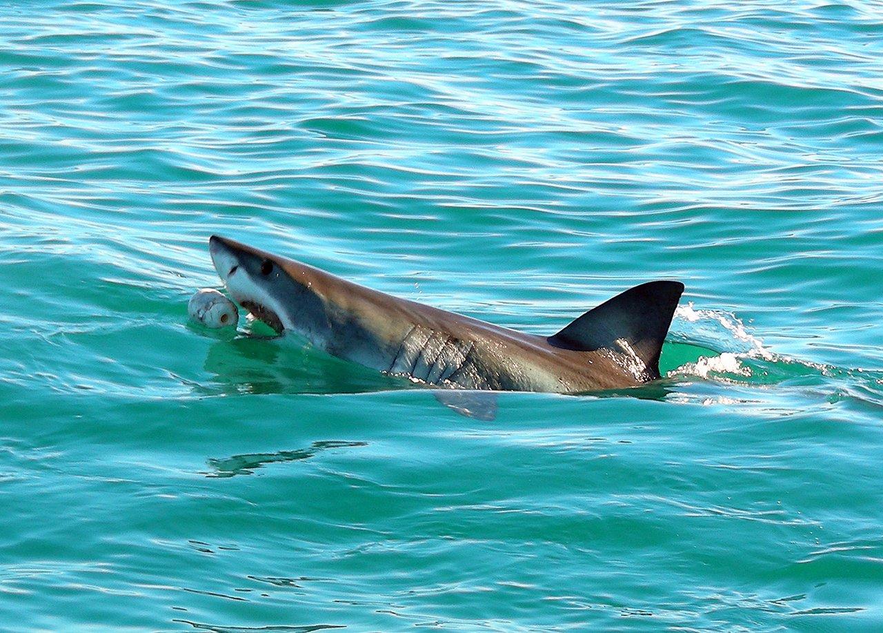 sudafrica itinerario: lo squalo bianco