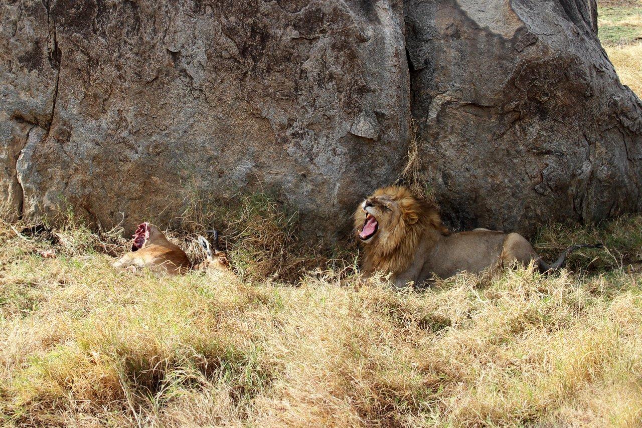 tanzania itinerario fai da te. Leone nel Serengeti