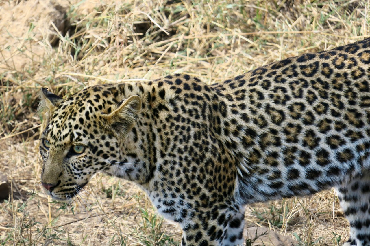 tanzania itinerario fai da te. Leopardo nel Serengeti