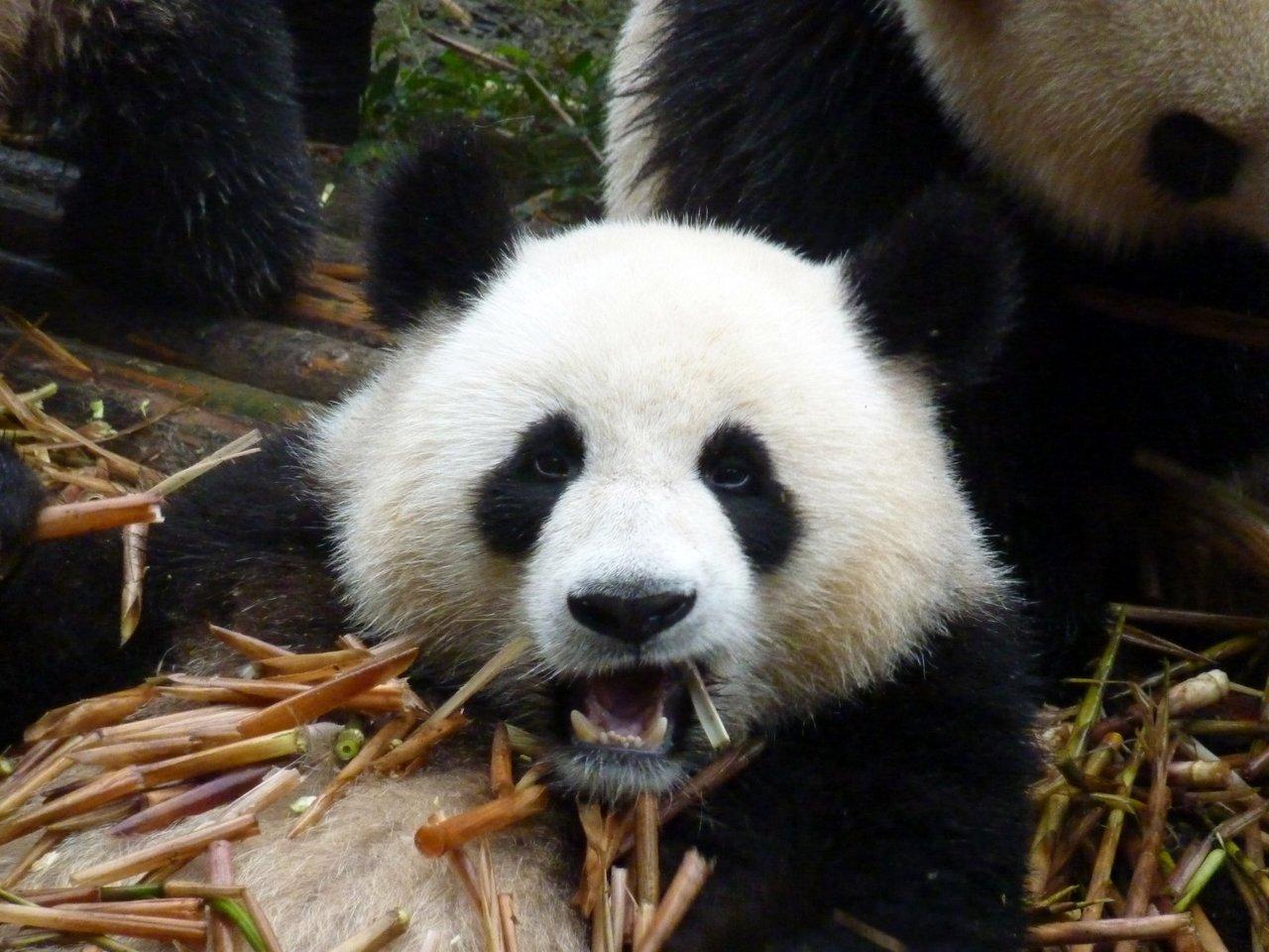 itinerario di quatto settimane in cina: il pasto dei panda