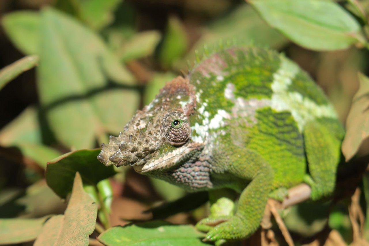 escursione nelle montagne usambara: camaleonte