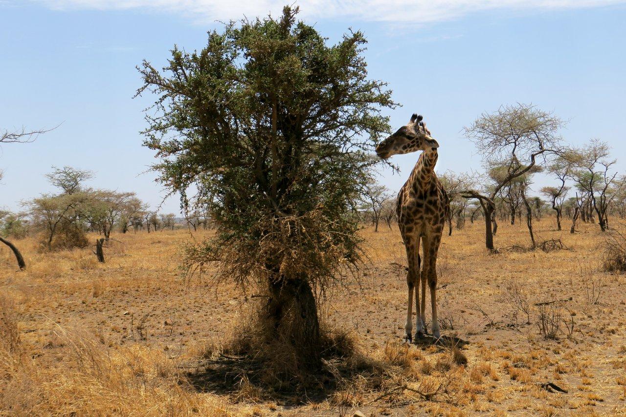 organizzare un safari in tanzania: giraffa
