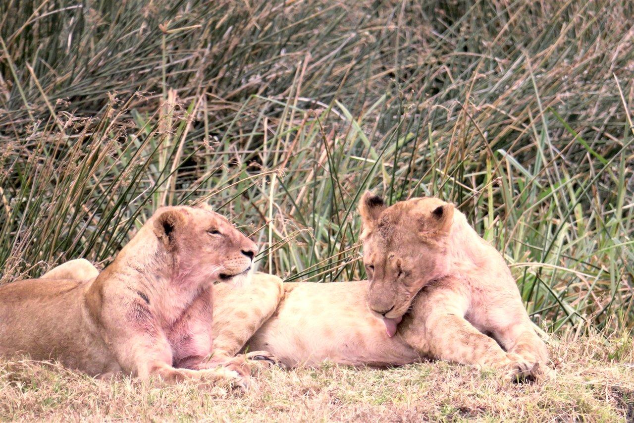 organizzare un safari in tanzania: leonesse nel ngorongoro