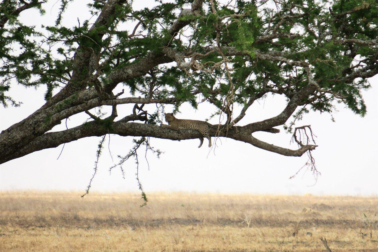 organizzare un safari in tanzania: leopardo su un albero