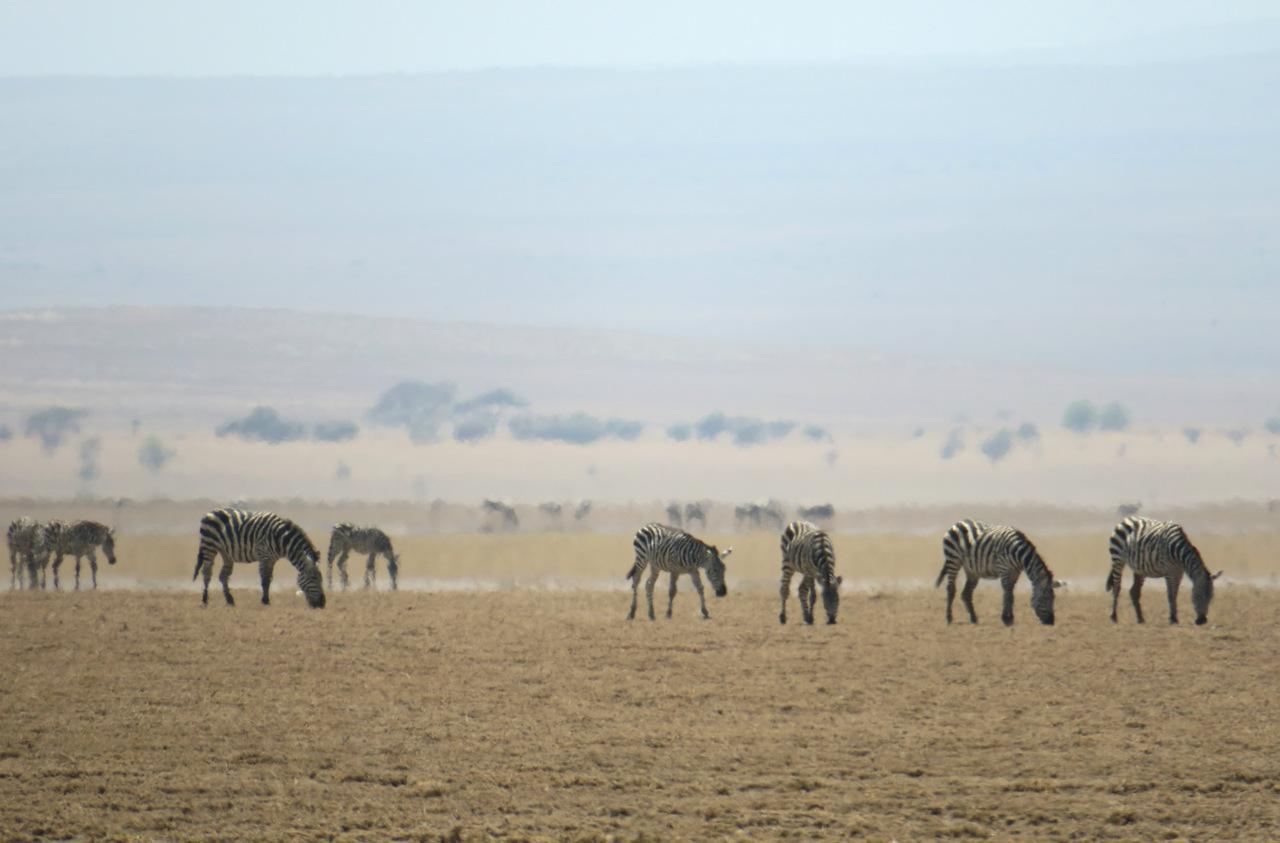 lago natron tanzania: le zebre in lontananza
