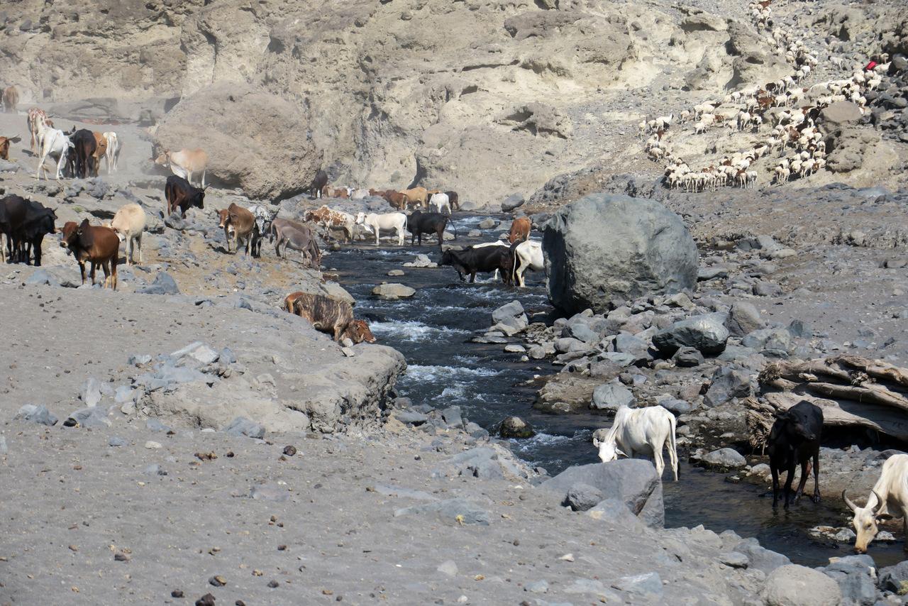 lago natron tanzania: mucche masai al pascolo