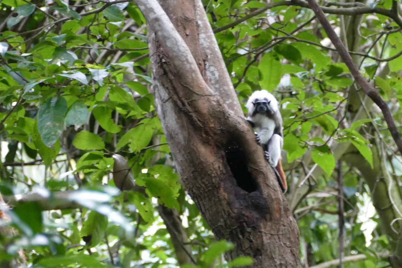 parque tayrona: scimmia
