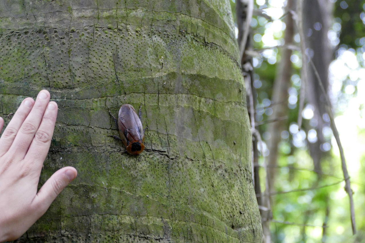 parque tayrona: scarabeo