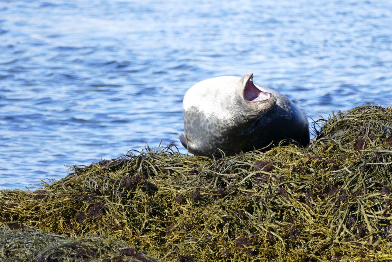 penisola di snaefellsness: foche a Ytri Tunga